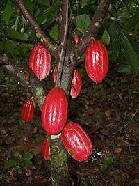 cacaofa